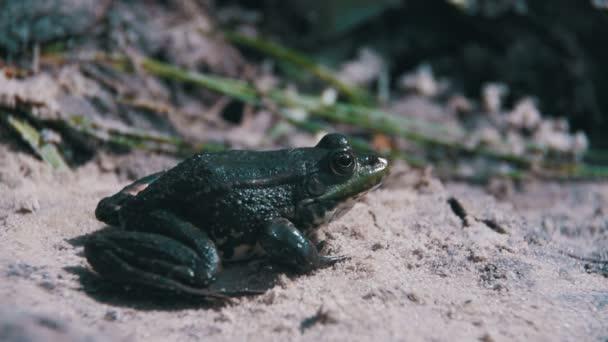 Zelená žába sedící na břehu řeky ve vodě. Zpomalený pohyb