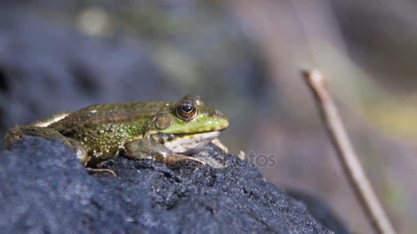 Zelená žába sedí na břehu nedaleko řeky