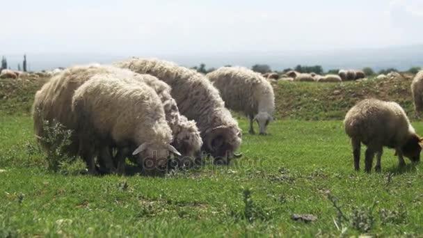 Schafherde weidet auf dem Feld vor der Kulisse der Berge