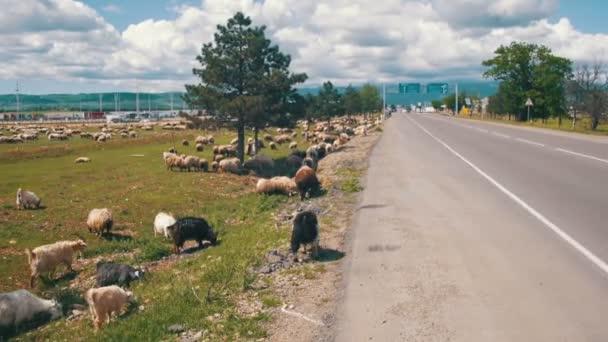 Stádo ovcí pasoucí se v poli poblíž dálnice
