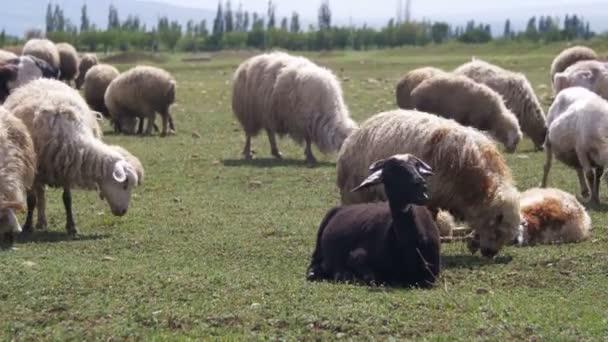 Stádo ovcí pasoucí se v poli pozadí hor