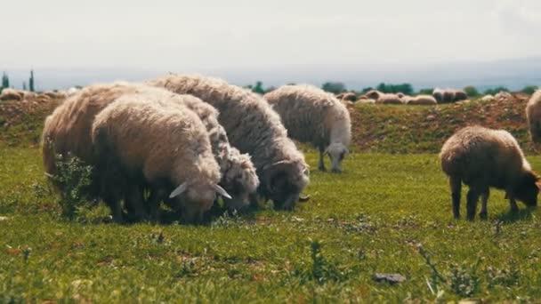 Schafherden weiden und fressen Gras auf der Weide. Tiere gehen auf Feld