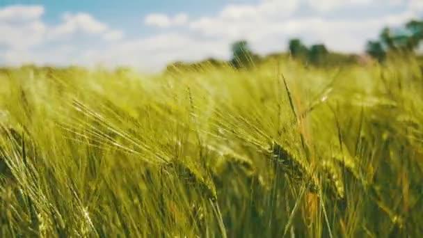 Mladé zelené pšenice a klásky v poli. Zpomalený pohyb