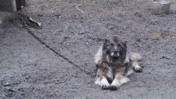 Großer böser Wachhund an einer Kette um den Stand und ist Protected Area
