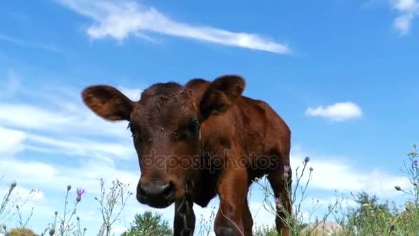 Šedé tele krávy se pasou na louce na pozadí oblohy. Zpomalený pohyb