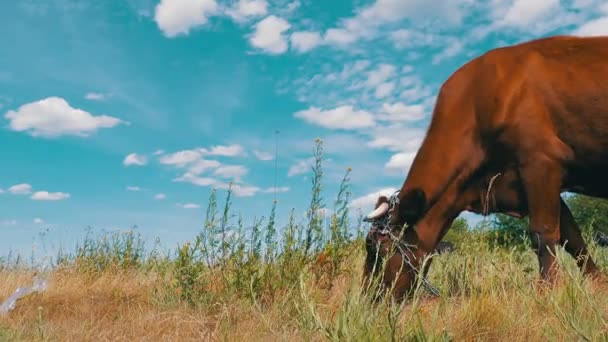 Kuh weidet auf einer Weide in der Nähe des Dorfes