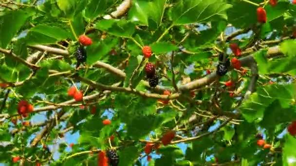 Mulberry Fruit on Tree, Fresh Berry in Nature