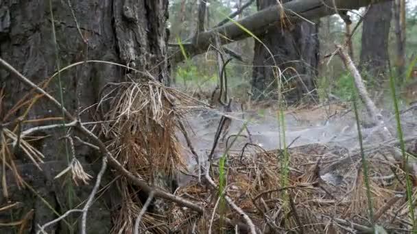 Tájkép, egy fenyves erdőben, a bukott naplók, száraz fák és a növényzet