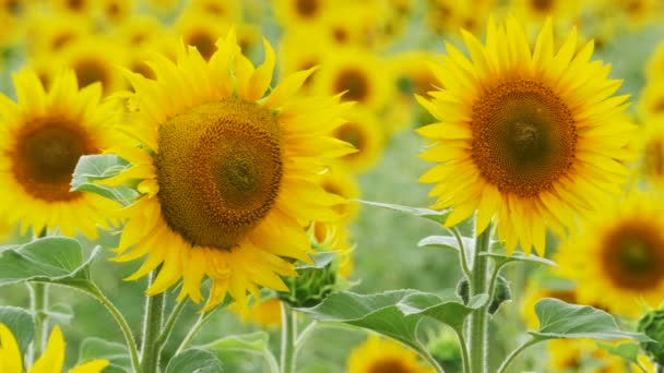 Slunečnice na poli houpající se ve větru