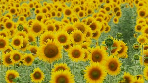 Slunečnice v poli kymácí ve větru