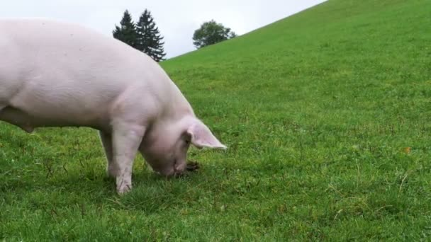 Pink Pig Walks and Eats Roots on a Green Meadow in the Mountains of Austria