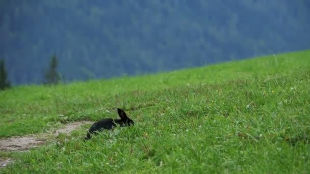 Schwarzes Kaninchen sitzen auf einem grünen Rasen in den alpinen Bergen