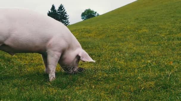 Rózsaszín malac séta és eszik a gyökerek egy zöld réten a hegyek Ausztria