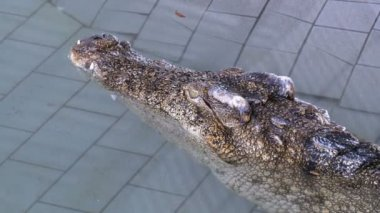 Crocodile lies in the pool of the zoo. Thailand