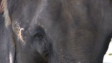 Muzzle of an elephant close-up while eating. Texture of the skin, eyes and ears. Thailand