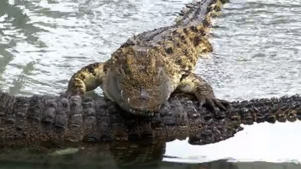 The crocodile lies in the water on another crocodile. Thailand