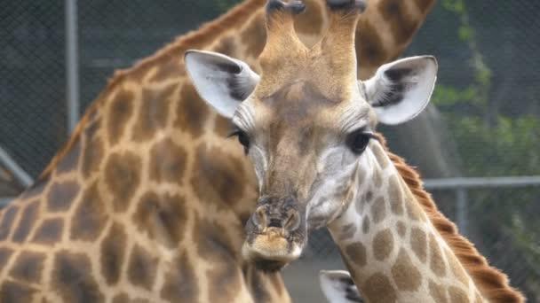 Žirafy v Zoo chodí kolem ohrady. Zpomalený pohyb. Thajsko. Pattaya.