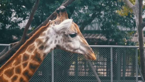 Hlavu žirafy v Zoo chodí kolem ohrady. Zpomalený pohyb. Thajsko. Pattaya