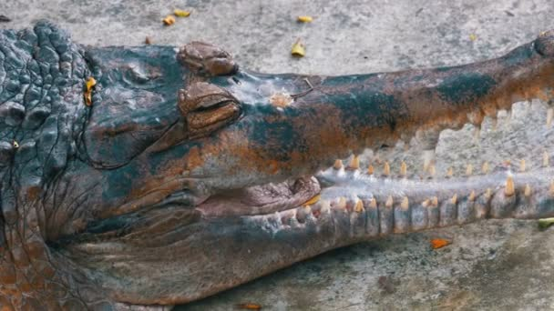 Alligator with an Open Mouth Lies on the Ground in the Zoo. Thailand. Asia.