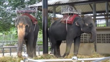 Elephants in a zoo with chains chained to their feet. Thailand. Asia