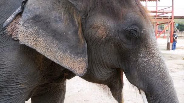 Sloní mávat jeho uši a kufr se pohybuje. Zpomalený pohyb. Thajsko, Pattaya