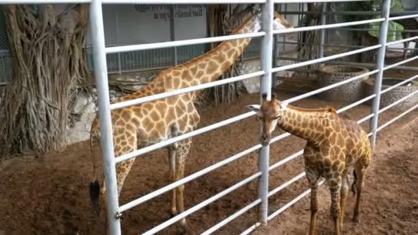 Zsiráf az állatkertben sétál a ház körül. Lassú mozgás. Thaiföld. Pattaya.