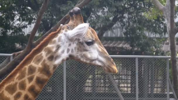 Hlavu žirafy v Zoo chodí kolem ohrady. Zpomalený pohyb. Thajsko. Pattaya.
