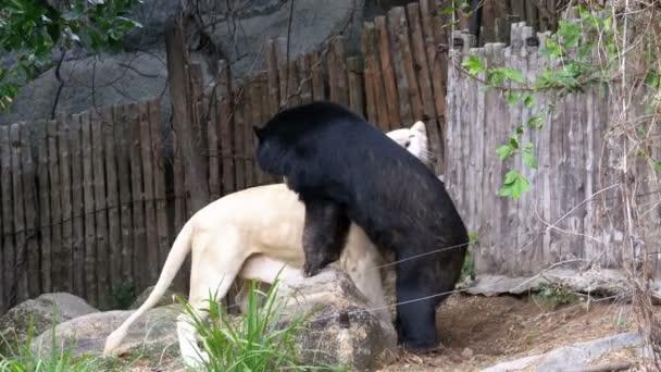 Tigre bianca leccare orso nero in Khao Kheow Open Zoo. Thailandia