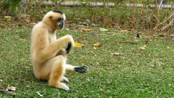 Fehér arcú Gibbon ül egy rét, tó vagy folyó Khao Kheow állatkert. Thaiföld