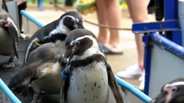 Pingvinek a kalitka és a turisták, Khao Kheow Open állatkert kezében. Thaiföld