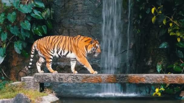Tygr se chodí na skále poblíž vodopádu. Thajsko