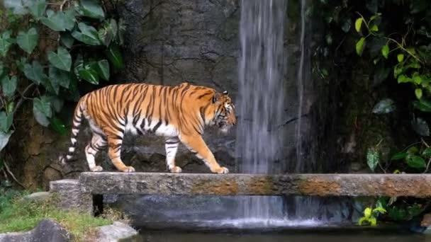 A tigris sétál a Rock a vízesés közelében. Thaiföld