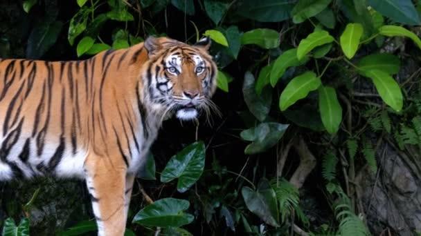 A tigris a dzsungelben. Khao Kheow Open állatkert. Thaiföld
