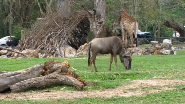 Afrikanische Savanne im khao kheow offenen Zoo. Thailand
