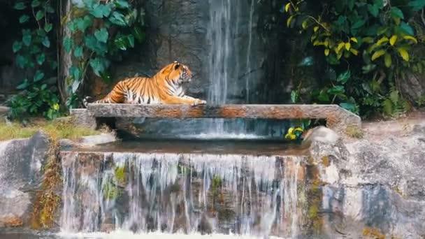 Tygr leží na skále poblíž vodopádu. Thajsko