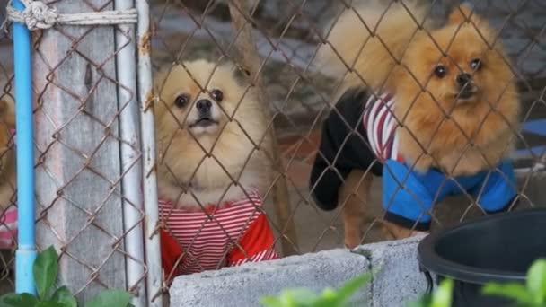 Három fajtiszta kis kutyák ugat gonoszul mögött a kerítés, a rács, egy ketrecben, az utcán. Lassú mozgás