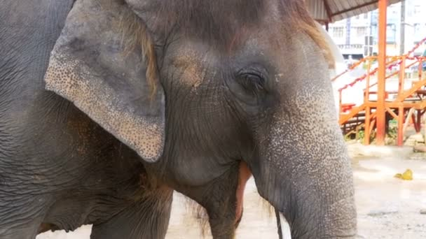Elephant waving his ears and trunk moves. Slow Motion. Thailand, Pattaya