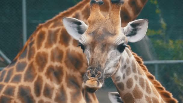 Žirafy v Zoo chodí kolem ohrady. Zpomalený pohyb. Thajsko. Pattaya