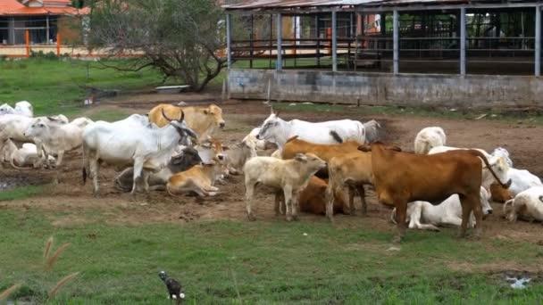 Mandria di mucche tailandese al pascolo su un pascolo sporco in Asia. Campo dellazienda agricola mucca aperta. Thailandia