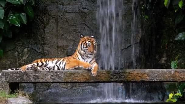 A Tiger fekszik a Rock a vízesés közelében. Thaiföld