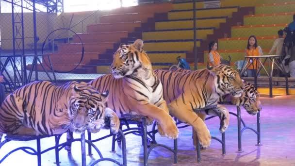 Čtyři tygři leží na cirkusové arény. Thajsko