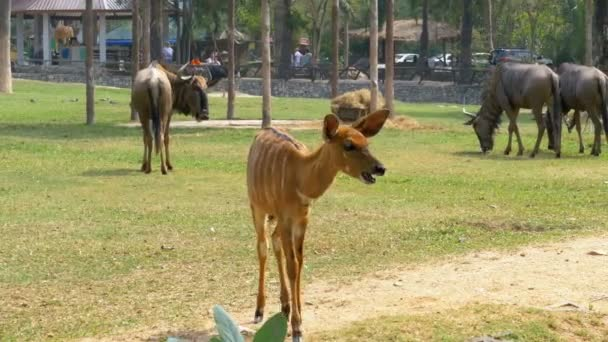 Savana africana nel Khao Kheow Open Zoo. Thailandia