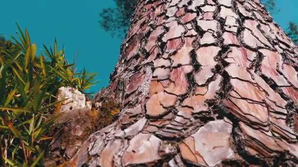 Kiefernstamm im Wald gegen den Himmel. Kiefernrinde. Pinus pinaster. Pinaceae.