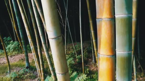 Bambusový háj. Vysoké stonky zeleného bambusu rostoucí v exotickém lese.