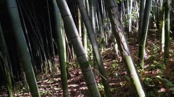 Bamboo Grove. High Stems of Green Bamboo Growing in Exotic Forest.