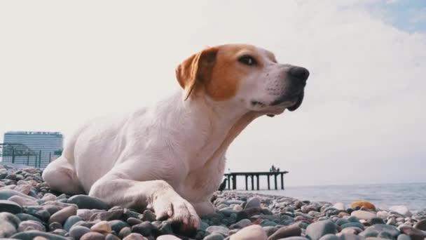 Hladoví psi bez domova loví holuby a lži na kamenném pobřeží moře. Divoký, nešťastný zatoulaný pes.