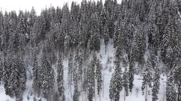 Letecký pohled na Vysoké Karpatské smrky a borovice v lese na zasněženém kopci.