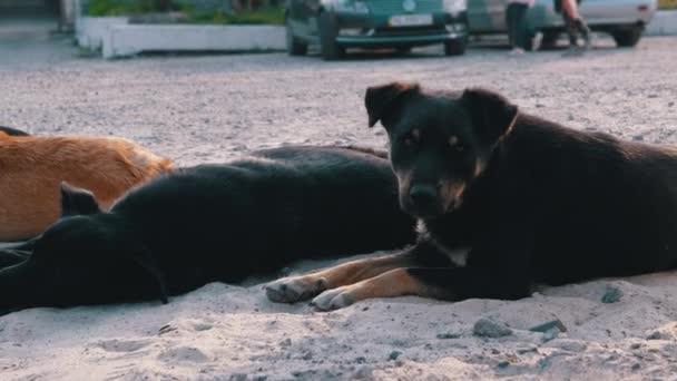Rudel obdachloser Hunde liegen auf der Straße. Vier Wachhunde auf Parkplatz