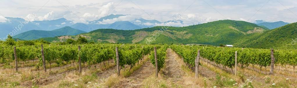 Vineyard in Alazani Valley, Georgia