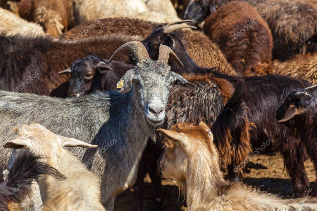 herd of goats and rams